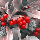 1-Christmas-berries-316970_960_720